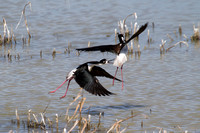 a black-necked stilt bits the tail feathers of another - both in flight