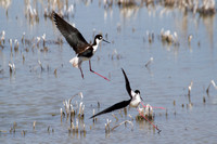 Black-necked stilts, pink legs akimbo, in some aerial antics