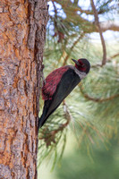 Lewis's Woodpecker 4