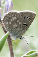 Arctic Blue Butterfly on Wild Lupine