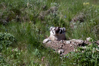 Badger at Den - Blacktail Plateau