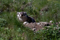 Badger at Den - Blacktail Plateau 5