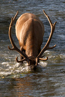 A bull elk dunks his head into Mission Creek to harvest creek moss