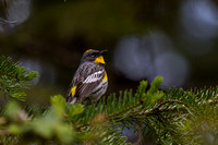 Audubon's Yellow Rumped Warbler Showtime 2