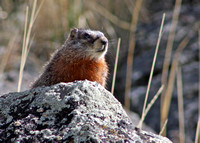 marmot looking to the left