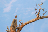 American Kestrel on Snag