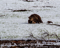 Grizzly Pillow Talk 4