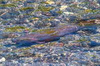 Yellowstone Cutthroat Trout in Trout Lake Inlet
