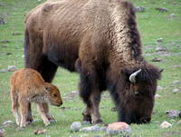 skinny mother cow bison with ribs and hips showing and her calf