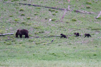 grizzly sow with three cubs of the year