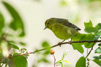 Orange-crowned Warbler 5