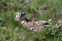 Badger at Den - Blacktail Plateau 13
