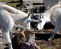 billy mountain goats facing off