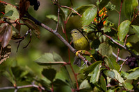MacGillivray's Warbler - Fall Migration -3