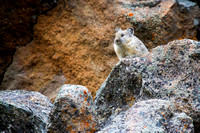 pika on a talus slope
