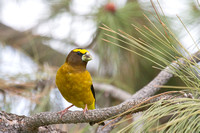 Evening Grosbeak - Male - May 2014 -7
