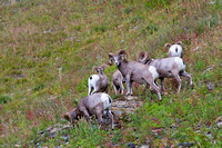 bachelor group of Rocky Mountain bighorn sheep along Glacier National Park's Highline Trail