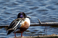 northern shoveler with sun beautifully illuminating his handsome plumage