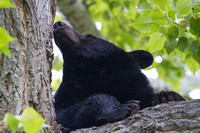 black bear resting in a cottonwood tree