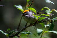 Golden-crowned Kinglet - Male 2
