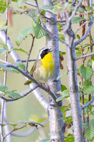 Common Yellowthroat -3