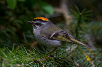 Golden-crowned Kinglet - Male 6