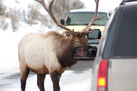 "A bull elk ""exchange's words"" with the driver of a Suburban blocking his route across the road to a game trail through the several-feet-deep-snow."