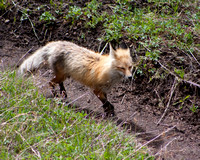 fox on trail