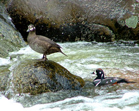 female harlequin duck standing on river rock with male next to her in the water