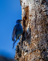 Mountain Bluebird Homemaker