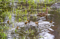 Mama Mallard and Her Brood 1