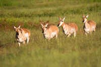 Pronghorn Follow The Leader