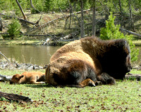 mother cow bison and her calf napping