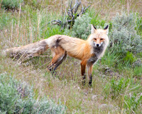 A male fox on the prowl for prey to take back to his family in their den