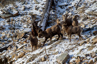 Bonner Bighorn Herd December 2014 -6
