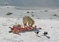 A coyote and black-billed magpies dine al fresco on a bighorn ram carcass on the frozen bank of the Lamar River.