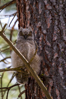 Great Horned Owl Fledgling -14