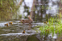 Mama Mallard and Her Brood 5