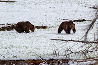 Grizzly Couple 2