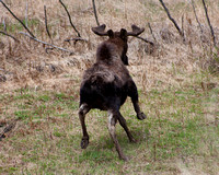 bull moose running to escape
