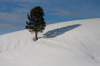 A tree on a snow covered slope with the tracks of small animals leading up to it.
