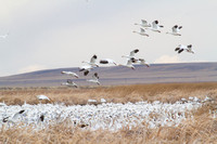 snow geese lifting off at Freezout Lake, Montana
