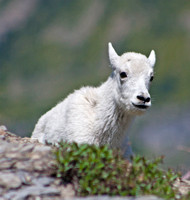 mountain goat kid with head and shoulders visibile coming over ridgeline