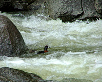 male harlequin duck in rushing white water