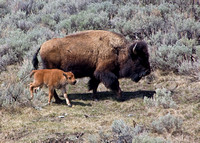 mother cow bison and calf