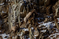 Bonner Bighorn Herd December 2014 -2