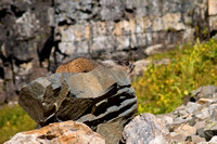 A marmot blends in with his rocky perch