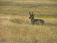 pronghorn antelope buck basking in the sun