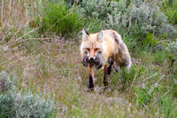 A male fox with his catch - a Columbian ground squirrel - which he carried back to his family in their den.