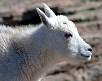 closeup of a mountain goat kid in profile